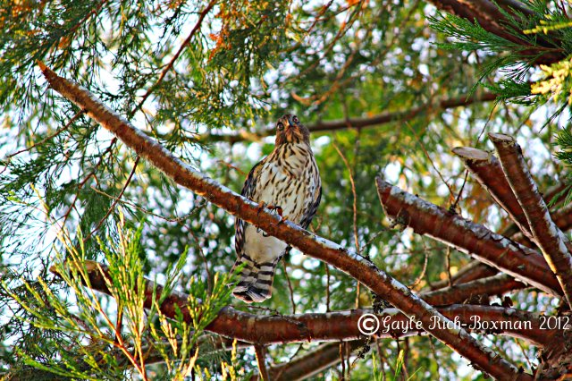 Cooper's Hawk Juvenile at Fishhawk Lake