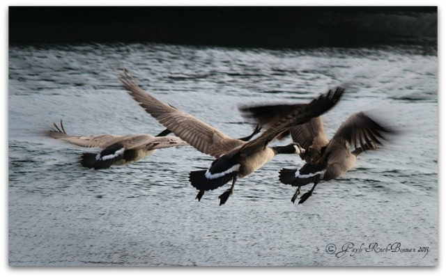 CanadaGeese on Fishhawk Lake-Photo by Gayle Rich-Boxman