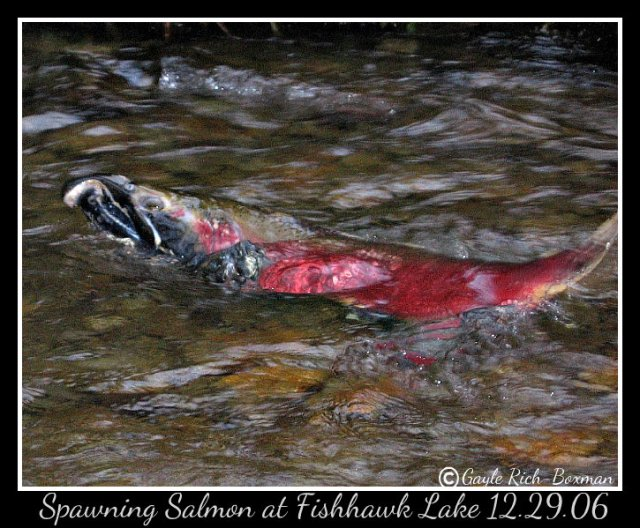 Salmon spawning Fishhawk Lake