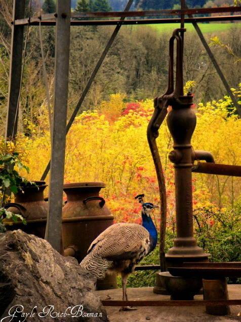 Peacock at Cascadian Nursery