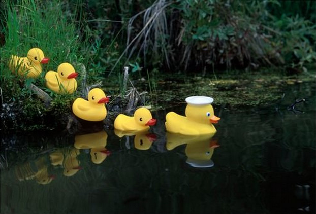 ducks in a row in the lake